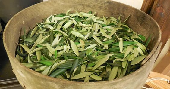 Olivo-foglie